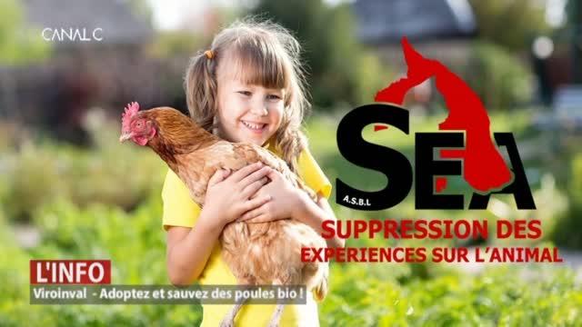 Il reste 1000 poules à sauver